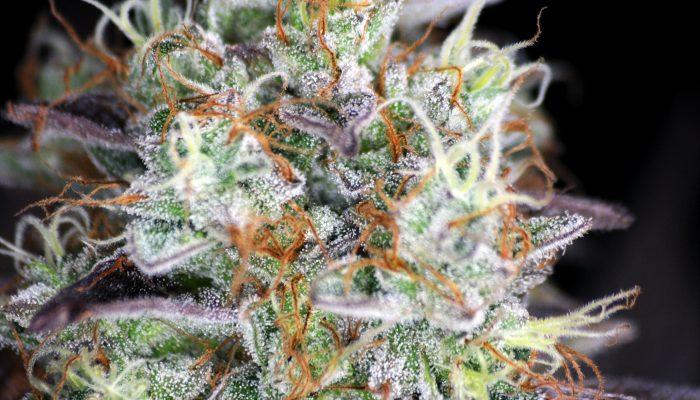 Mango Hash – 420Seeds